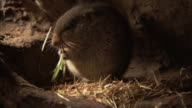 An ice rat chews on grass inside its burrow. Available in HD