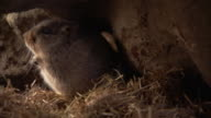 An ice rat moves grass through its burrow. Available in HD