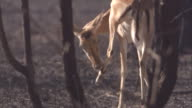 An impala grooms itself in the Serengeti. Available in HD.