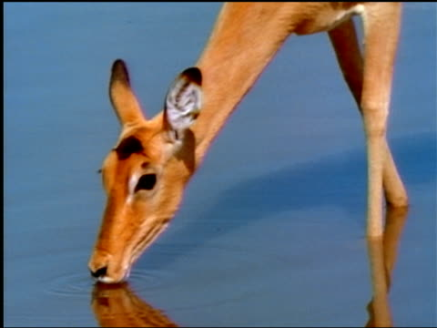An impala starts and runs away from a water hole.