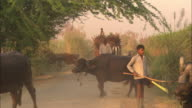 An Indian farmer uses an ox to pull a cart laden with branches.