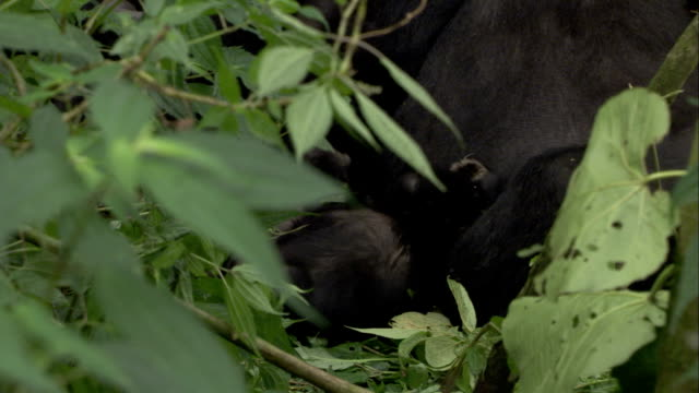An infant gorilla squirms as it nurses. Available in HD.