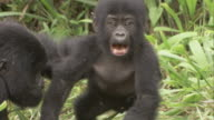 An infant mountain gorilla ambles over to a female, walks away, then the female drags the infant back. Available in HD.