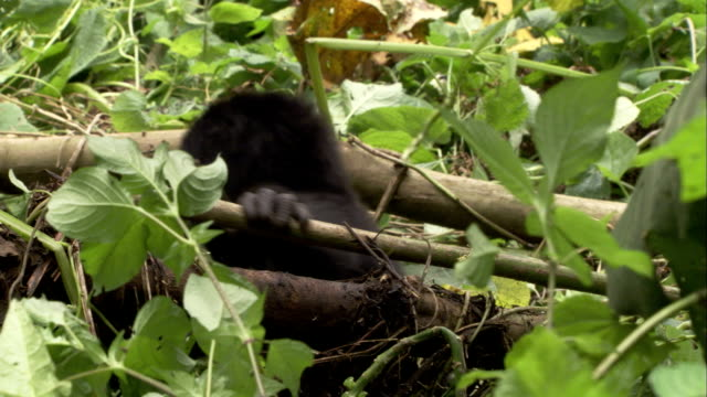 An infant mountain gorilla clambers over branches then hugs its mother. Available in HD.