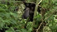 An infant mountain gorilla climbs on a tree branch and slides down to the end. Available in HD.