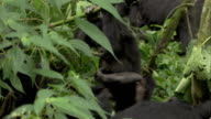 An infant mountain gorilla clings onto a tree branch and plays with an adult gorilla's foot. Available in HD.