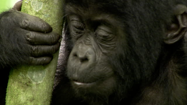 An infant mountain gorilla eats as it clings to tree branches. Available in HD.