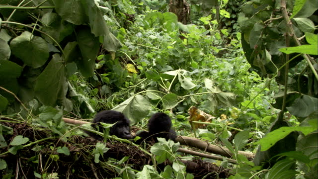 An infant mountain gorilla hugs its mother, then leaves. Available in HD.
