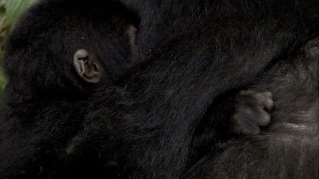 An infant mountain gorilla suckles and nuzzles with its mother as flies buzz around them. Available in HD.