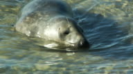 An injured seal wallows in shallow water.
