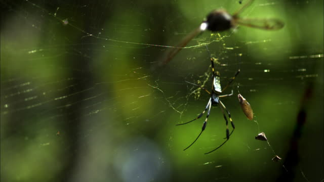 An insect flies into an orb weaver's web.