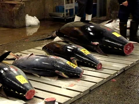 An international convention on endangered species currently meeting in Doha is gearing up to vote on whether to ban trade in Atlantic bluefin tuna...