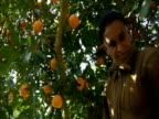 An man picks oranges from tree and throws them in a crate