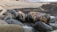 An oil pipeline ruptures and dumps oil into the Pacific Ocean near Santa Barbara California kickstarting efforts to clean up the spill