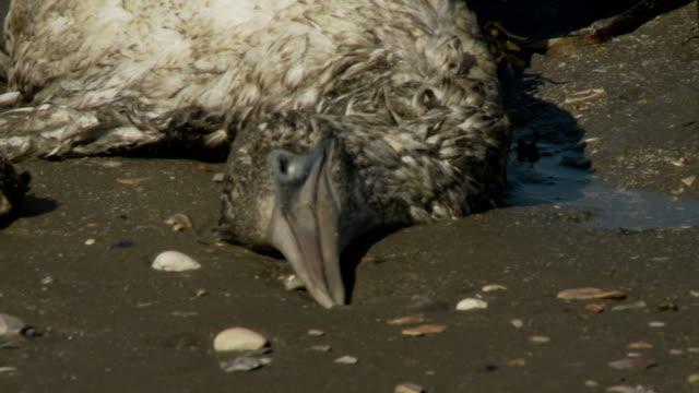 An oil-soaked bird lies dead on a beach where a man inspects its wings.