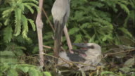 An openbill stork and a chick rearrange their nest. Available in HD.