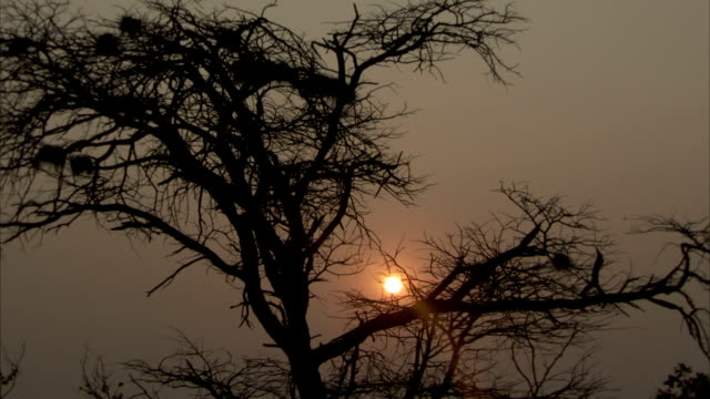 An orange sun silhouettes a tree full of nests. Available in HD