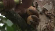 An orangutan eats banana on a tree in Borneo, Malaysia.