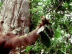 An orangutan grabs a cluster of fruit high in a tree while swinging on a vine