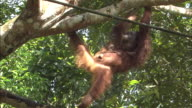 An orangutan swings from tree branch to tree branch with a baby in Borneo, Malaysia.