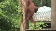 An orangutan takes food from a food stand and climbs a tree in Borneo, Malaysia.
