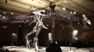 An original and nearly complete skeleton of a Tyrannosaurus Rex dinosaur named ' Tristan Otto ' is on display at Berlin's Natural History Museum in...