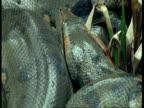 BCU Anaconda head, South America