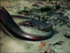 Anaconda uncoiling from body of strangled caiman in muddy water / Amazon
