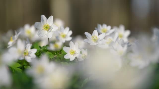 Anemone nemorosa (wood anemone) in forest. Bavaria, Germany.