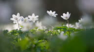 Anemone nemorosa (wood anemone) in forest.