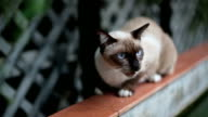 Angry Aggressive Hissing Siamese Cat
