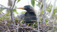 Anhinga bird in its nest