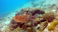 Animal Behaviour - Critically Endangered Species Hawksbill Sea Turtle (Eretmochelys imbricata).