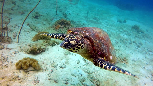 Animal Behaviour - Critically Endangered Species Hawksbill Sea Turtle (Eretmochelys imbricata).