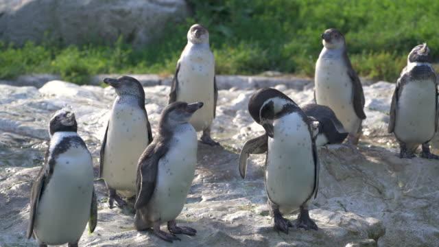 Animal Cinemagraphs - 4k humboldt penguins
