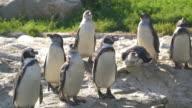 Animal Cinemagraphs - 4K penguins