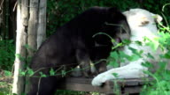 HD: animal friendships white tiger and bear