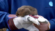Close ups of water vole ENGLAND London London Wetland Centre EXT Various of large water vole standing on gloved hand of Alastair Driver