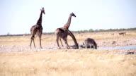LS Animals Drinking Water In African Savannah