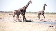 LS Animals Drinking Water In Savannah