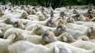 'Animals': Flock Of Sheep