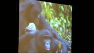 Guy the gorilla goes on show at Natural History Museum GVs amd interview Close shots of stuffed rabbits in mating pose Monitor showing film of...