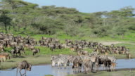 Animals Moving in the Great Migration