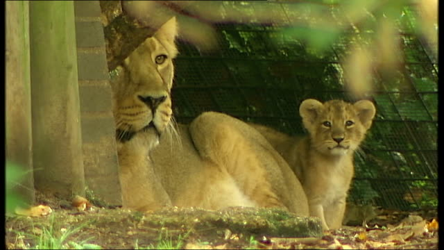 New lion cubs at London Zoo ENGLAND London London Zoo EXT Female Asian lion in enclosure Asian lioness standing in enclosure Asian lioness sitting as...
