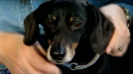 Paralysed dog walks again after pioneering treatment General views ENGLAND Cambridgeshire Cambridge INT Close shots of Jasper the dachshund being...