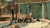 Animals poaching threat to rhono population rhino orphanage SOUTH AFRICA Limpopo EXT Various of orphaned baby rhinoceros in playing in pen of rhino...