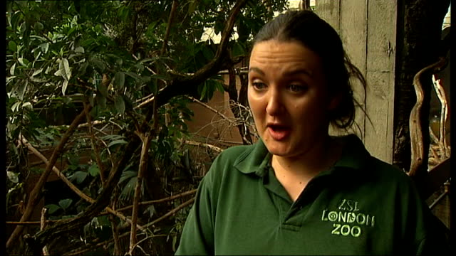 Tammy the anteater gets human minder for London Zoo walkabout Reporter to camera Caroline Westlake interview SOT Various of Tammy the anteater...