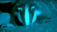 Two badger culling trials given goahead in south west England T27091233 / TX Gloucestershire Badger beside hole and along at night