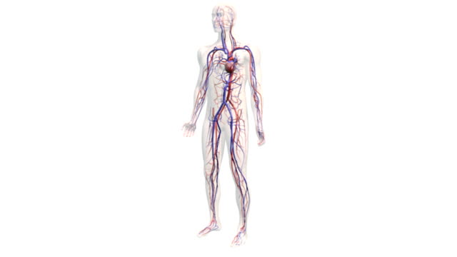 Animation depicting a rotation around the cardiovascular system within a semi-transparent human body. The heart is beating throughout the animation.