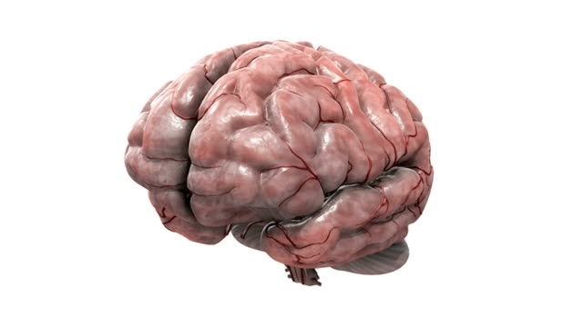 Animation depicting a rotation of a brain.  The cerebrum then fades down to reveal the brainstem, Diencephalon and half the artery system.